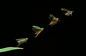 Rhododendron / Red banded leafhopper (Graphocephala coccinea) sequence of 4 multiflash  images of taking off from leaf.  -  Stephen Dalton