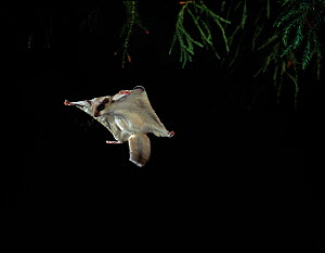 Northern Flying squirrel (Glaucomys sabrinus) gliding (Native to North America) controlled conditions  -  Stephen Dalton