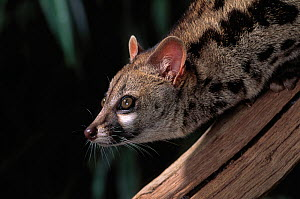 Head portrait of Small spotted genet (Genetta genetta) native to Europe, controlled conditions - Stephen Dalton