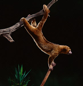 Kinkajou / Honey bear (Potos flavus) climbing on branches, native to Central and South America, controlled conditions - Stephen Dalton