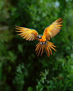 Blue and yellow macaw (Ara ararauna) in flight, South America, controlled conditions  -  Stephen Dalton