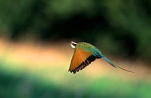 White-fronted bee-eater (Merops bullockoides) in flight, Europe - Stephen Dalton