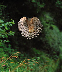 Head on view of Sparrowhawk ( Accipiter nisus) flying in woodland, UK, controlled conditions  -  Stephen Dalton