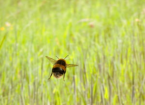 Rear view of Bumblebee (Bombus) in flight over grass, UK - Stephen Dalton