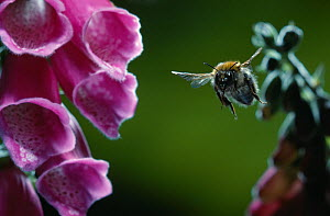 Carder bumblebee (Bombus pascuorum) in flight approaching flowering Foxglove (Digitalis sp) UK - Stephen Dalton