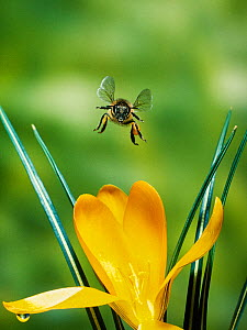 Honeybee (Apis mellifera) flying towards camera over Crocus flower, UK  -  Stephen  Dalton