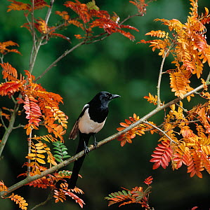 Magpie (Pica pica) perching in branches, Autumn, UK  -  Stephen Dalton