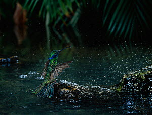 Sparkling / Green violet-ear hummingbird (Colibri thalassinus) bathing in tropical forest, South America - Stephen Dalton