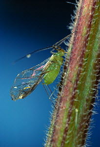 Green aphid / Greenfly (Aphidoidea) extracting sap from stem of nettle, UK - Stephen Dalton