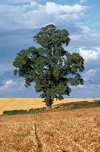 English Elm (Ulmus procera) in hedgerow between two fields culitvated for cereals, UK  -  Stephen Dalton