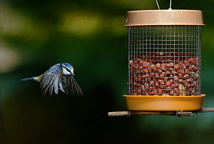 Blue tit (Parus caeruleus) flying to bird-feeder, UK  -  Stephen Dalton