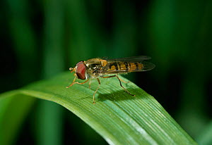 Marmalade hoverfly (Syrphus balteatus) resting on leaves, UK - Stephen Dalton