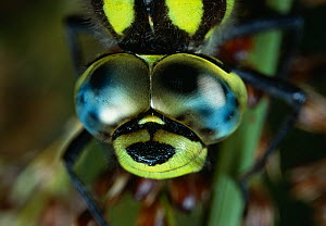 Close-up head portrait of Southern hawker dragonfly (Aeshna cyanea) showing compound eye, UK - Stephen Dalton