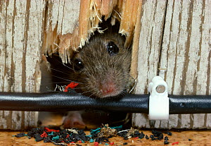 House mouse (Mus musculus) poking head through wall and gnawing electricity cable in house, England, UK, controlled conditions  -  Stephen Dalton