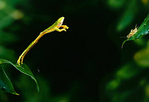 Red-eyed tree frog (Agalychnis callidryas) leaping to catch cricket, Central America, controlled conditions - Stephen Dalton