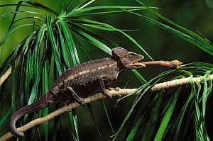 Giant chameleon (Chamaeleo cristatus) with  tongue extended to catch locust, Madagascar. , controlled conditions - Stephen Dalton