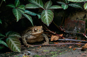 Common toad (Bufo Typhonius) in garden, sheltering under foliage, UK - Stephen Dalton