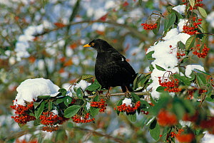 Male blackbird (Turdus merula) perched in snow covered Rowan tree with berries, England, UK - Stephen Dalton