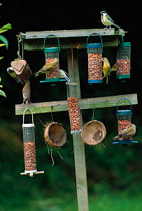Collection of bird feeders in garden, with Greenfinches (Carduelis chloris) and Great tits (Parus major) UK  -  Stephen Dalton