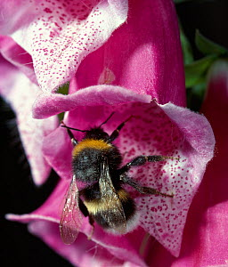 White-tailed bumblebee (Bombus lucorum) pollinating Foxglove (Digitalis sp) flower, England, UK - Stephen Dalton