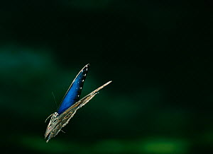 Common morpho butterfly (Morpho peleides) in flight, from Venezuelan cloudforest, controlled conditions  -  Stephen Dalton