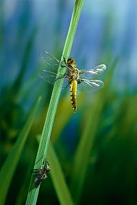 Broad bodied chaser dragonfly (Libellula depressa) recently emerged from larval case, UK  -  Stephen Dalton
