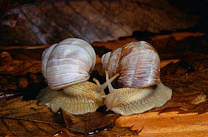 Edible snails (Helix pomatia) pair prior to mating, UK - Stephen Dalton