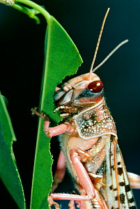 Desert locust (Schistocerca gregaria) portrait, feeding on leaf, controlled conditions  -  Stephen Dalton