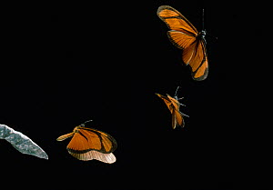 Heliconian butterfly (Eueides aliphera) multiflash sequence of three images in flight, from Venezuela, controlled conditions  -  Stephen Dalton