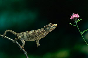 European chameleon (Chamaeleo chamaeleon) catching a fly, controlled conditions - Stephen Dalton