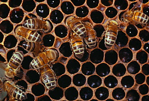 Honey bees (Apis mellifera) filling honey storage cells in hive, UK - Stephen Dalton