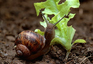 Common snail (Helix aspera) feeding on seedling, UK - Stephen Dalton