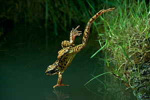 Common frog (Rana temporaria) leaping into water, UK, controlled conditions  -  Stephen Dalton