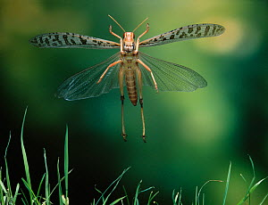 Desert locust (Schistocerca gregaria) in flight, controlled conditions, from Africa  -  Stephen Dalton