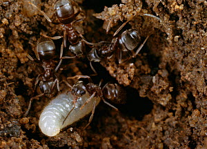Garden black ants (Lasius niger) adults with larva in nest, UK  -  Stephen Dalton