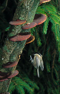 Marsh tit (Poecile palustris) in flight, about to land on branch covered with bracket fungi, UK, controlled conditions  -  Stephen Dalton