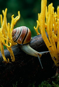 Grove / Banded snail (Cepaea nemoralis) on branch with Staghorns fungus, UK  -  Stephen Dalton