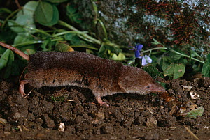 Common shrew (Sorex araneus) feeding on slug prey, UK, controlled conditions  -  Stephen Dalton