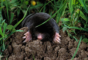 European mole (Talpa europea) emerging from molehill, UK, controlled conditions - Stephen Dalton