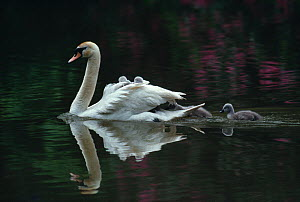 Mute swan (Cygnus olor) with cygnets on water, UK  -  Stephen Dalton