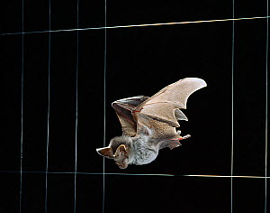 Greater false vampire bat (Megaderma lyra) flying in complete darkness between wire strands, demonstrating echo location, Research at Frankfurt University, Germany, controlled conditions  -  Stephen Dalton