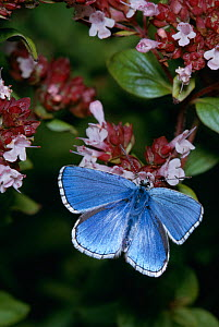 Adonis blue butterfly (Polyommatus bellargus) on flowers, UK - Stephen Dalton