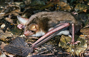 Greater mouse eared bat (Myotis myotis) hunting for insects on ground, UK  -  Stephen Dalton