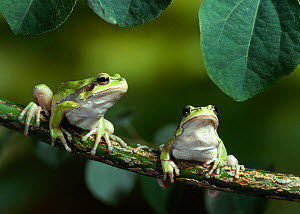 Two Mediterranean tree frogs (Hyla meridionalis) resting on branch, controlled conditions  -  Stephen Dalton