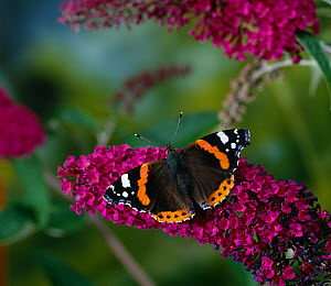 Red admiral butterfly (Vanessa atalanta) on Buddleia flowers, UK  -  Stephen Dalton