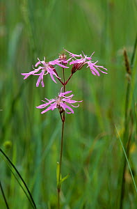 Ragged robin (Silene flos-cuculi) flower, UK  -  Stephen Dalton