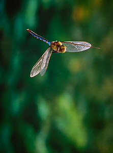 Emperor dragonfly (Anax imperator) in flight, male, UK - Stephen Dalton