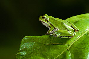 Mediterranean tree frog (Hyla meridionalis) camouflaged on green leaf, controlled conditions, Europe  -  Stephen Dalton