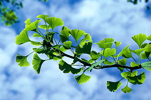 Leaves of the Ginkgo tree (Ginkgo biloba) native to Central China - Stephen Dalton