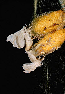 Chinese silkworm moth (Bombix mori) pair mating on coccoons, controlled conditions - Stephen Dalton